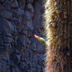 4_Atacama_Kaktus
